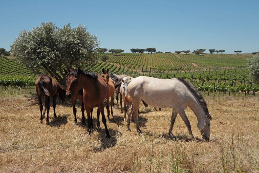 Wijnreis Alentejo Portugal wijngaarden